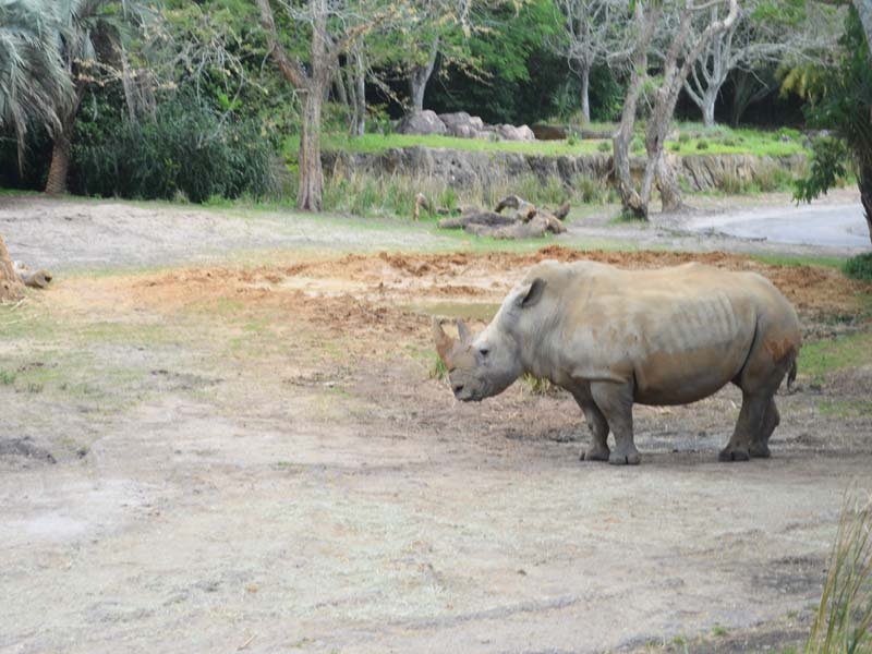 White Rhino of Disney